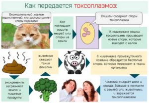 Как не заразиться токсоплазмозом