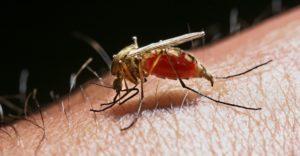 Кровь комара