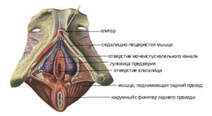 Большие малые половые губы и клитор